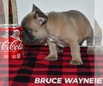 Small Photo #1 French Bulldog Puppy For Sale in GRAHAM, WA, USA