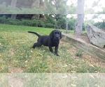 Small Photo #7 Labrador Retriever Puppy For Sale in YAKIMA, WA, USA