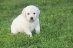 Golden Retriever Puppy For Sale in JOHNSON CITY, TN
