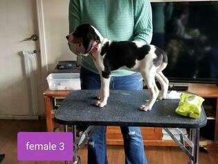 Treeing Walker Coonhound Puppies