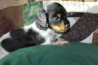 Dachshund Puppy For Sale in MIDWAY, TX