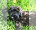 Small #4 Poodle (Miniature)-Soft Coated Wheaten Terrier Mix
