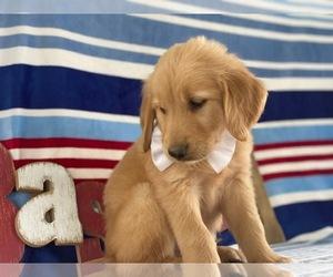 Golden Retriever Dog for Adoption in LANCASTER, Pennsylvania USA