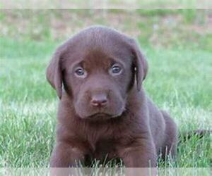 Labrador Retriever Puppy for sale in THREE RIVERS, MI, USA