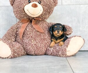 Chiweenie Puppy for sale in CLEVELAND, NC, USA