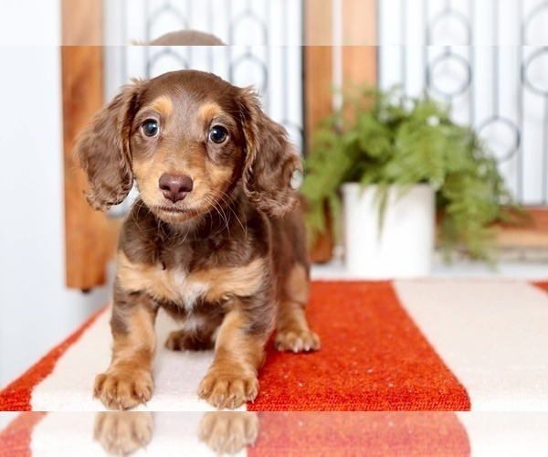 View Ad: Dachshund Puppy for Sale near Florida, NAPLES ...