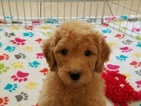 Puppies And Dogs For Sale In Usa
