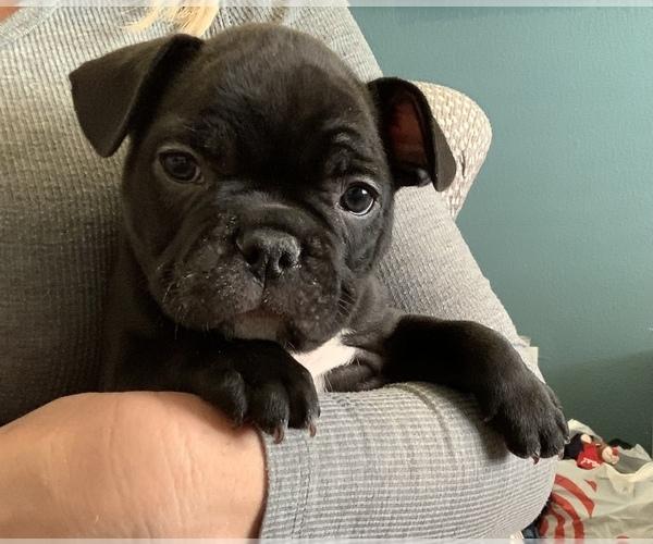 Medium Photo #2 French Bulldog Puppy For Sale in EL PASO, TX, USA