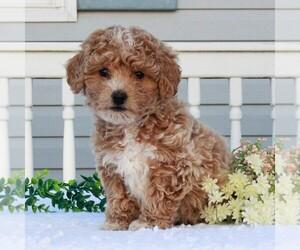 Poochon Dog for Adoption in GAP, Pennsylvania USA