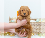 Puppy 6 Goldendoodle (Miniature)