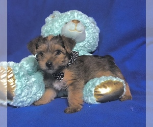 Yorkshire Terrier Dog for Adoption in LA VERNIA, Texas USA