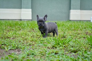 French Bulldog Puppy For Sale in LEHIGH ACRES, FL