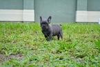 French Bulldog Puppy For Sale in LEHIGH ACRES, FL, USA