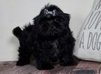 Zuchon Puppy For Sale in WARSAW, IN, USA