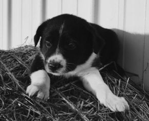 Border Collie Puppy For Sale in NEW BOSTON, MO