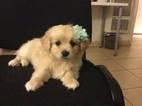 Maltipoo Puppy For Sale in MONTEBELLO, CA, USA