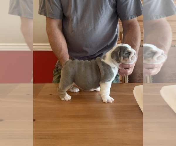 Medium Photo #6 English Bulldog Puppy For Sale in DAYTON, OH, USA