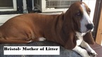 Basset Hound Puppy For Sale in NORTH BRANCH, MN, USA