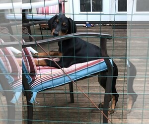 Doberman Pinscher Puppy for Sale in VANCOUVER, Washington USA