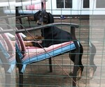 Doberman Pinscher Puppy For Sale in VANCOUVER, WA, USA