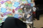 Chihuahua Puppy For Sale in PATERSON, NJ