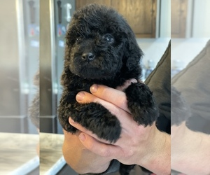 Goldendoodle-Poodle (Miniature) Mix Puppy for sale in FLAT ROCK, NC, USA