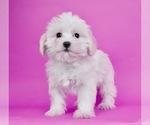 Puppy 14 Morkie