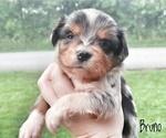 Miniature Australian Shepherd Puppy For Sale in BRUIN, KY, USA