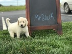 Goldendoodle Puppy For Sale in WILLIAMSTOWN, KY, USA