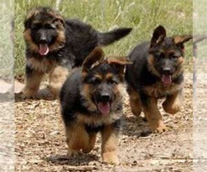 German Shepherd Dog Puppy for sale in KALAMAZOO, MI, USA