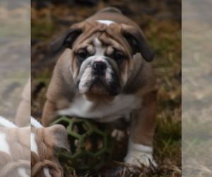 Bulldog Puppy for Sale in ASH FLAT, Arkansas USA