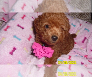 Poodle (Toy) Puppy for sale in DULUTH, GA, USA