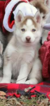 Double Registered CKC and NKC Siberian Huskies