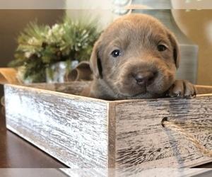 Labrador Retriever Puppy for Sale in SIOUX CENTER, Iowa USA