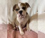 Small #17 English Bulldog