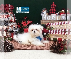 Maltese Puppy for Sale in WINNSBORO, Louisiana USA