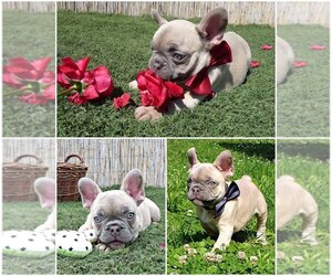 French Bulldog Puppy for sale in Dombovar, Tolna, Hungary