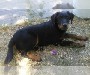 Beauceron Puppy for sale in CERES, CA, USA