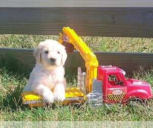 Goldendoodle Puppy for Sale in ELKTON, Kentucky USA