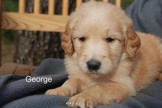 Goldendoodle Puppy For Sale in CATHOLIC POINT, AR, USA