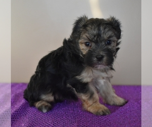 Morkie Puppy for Sale in DOWNING, Missouri USA