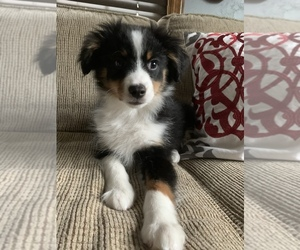 Miniature Australian Shepherd Puppy for sale in IRWIN, PA, USA