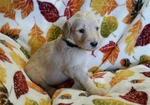 Goldendoodle Puppy For Sale in CHUBBUCK, ID, USA