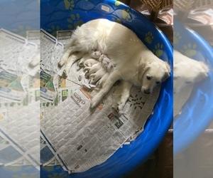 English Cream Golden Retriever Puppy for sale in CRAWFORDSVILLE, IN, USA