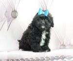 Puppy 7 Maltese