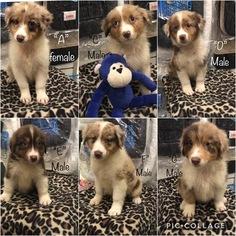 Australian Shepherd Puppy for Sale in LAKE CITY, Florida USA