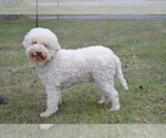 Lagotto Romagnolo Puppy For Sale in BIRD IN HAND, PA, USA