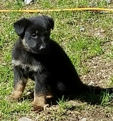 German Shepherd Dog Puppy For Sale in SWANZEY, NH, USA