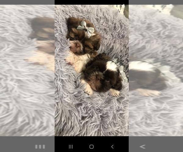 Medium Photo #9 Shih Tzu Puppy For Sale in OTTAWA, OH, USA