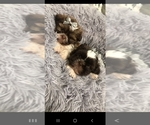 Small Photo #9 Shih Tzu Puppy For Sale in OTTAWA, OH, USA
